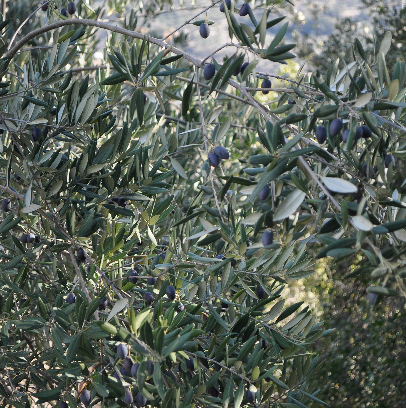 olive_groves_montefrio_holiday_rental