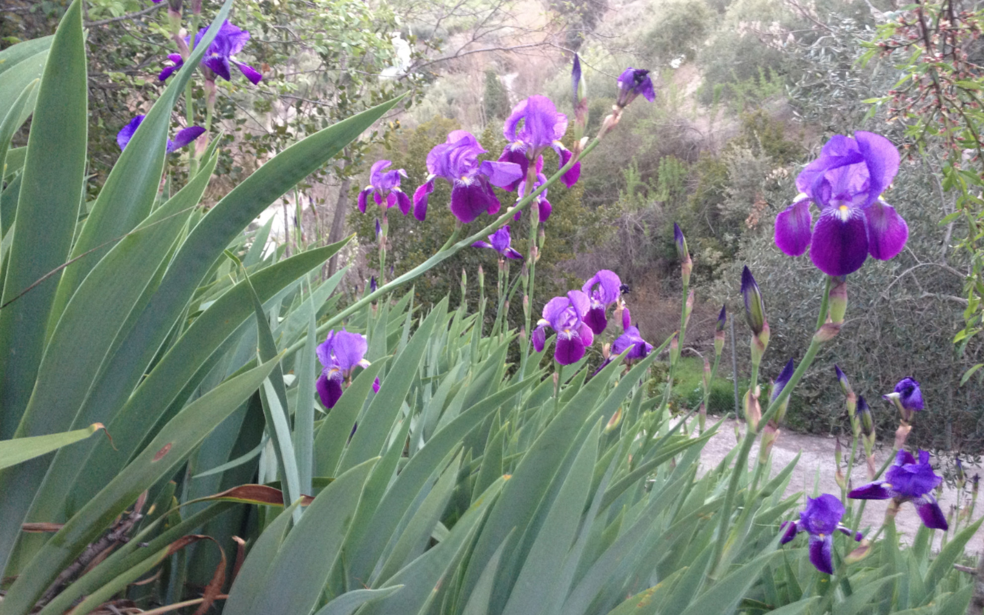 spring_flowers_iris_huerta_pequena_self catering_holiday_accommodation_Montefrio_www.rural-andalucia.com